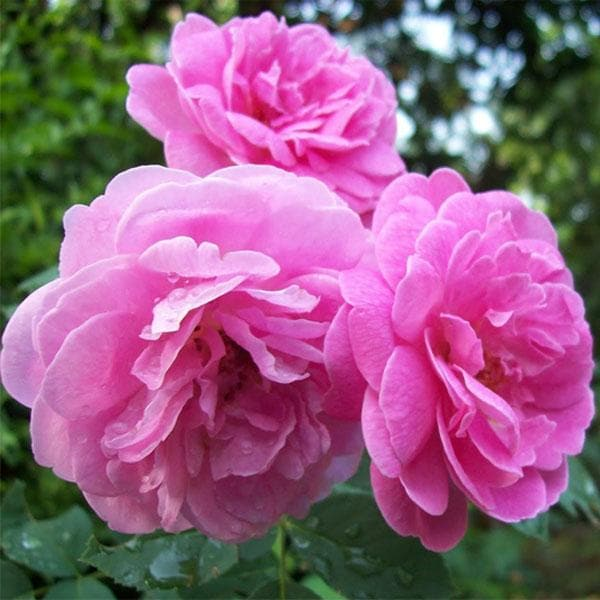 Damascus Rose, Scented Rose (Any Color) - Plant