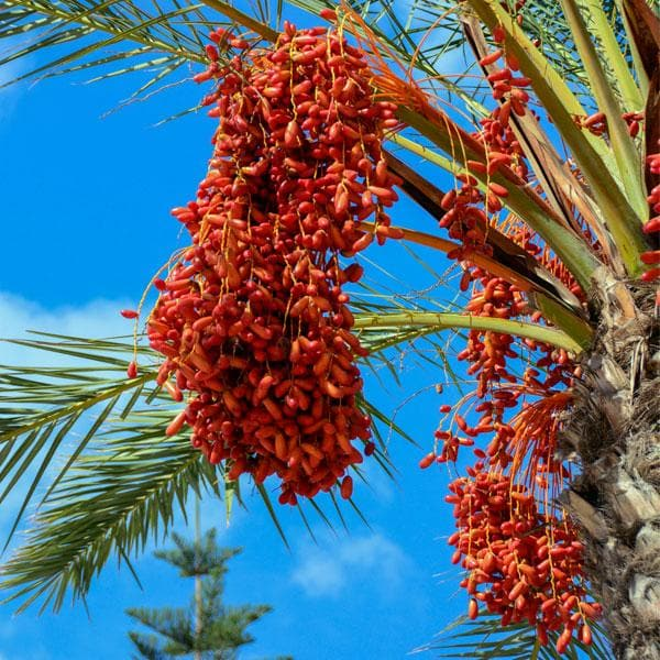 Date palm - Plant