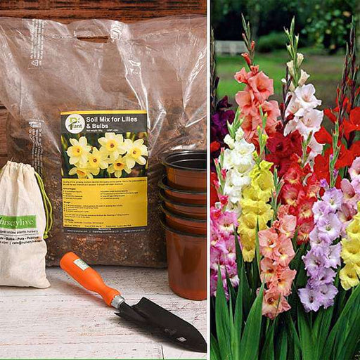 Graceful Gladiolus - Garden Pack - Nurserylive