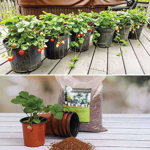 Strawberry Gardening Kit - Nurserylive