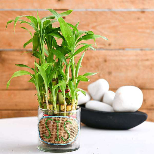 2 Layer Lucky Bamboo for Pretty Sister - Nurserylive