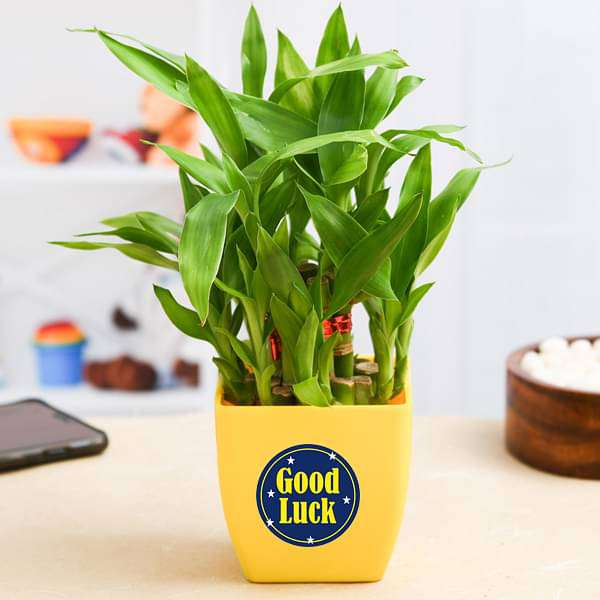 2 Layer Lucky Bamboo Plant for Someone You Care - Nurserylive