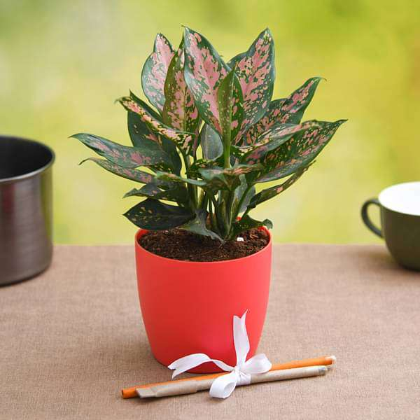 Aesthetic Aglaonema for Workaholic Father