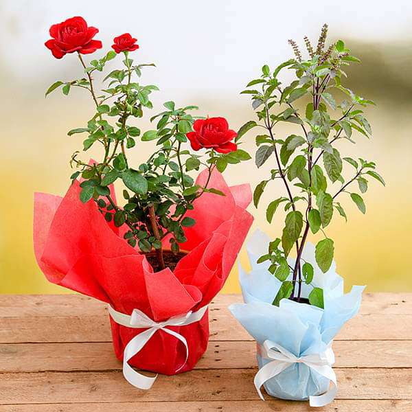 Aesthetic Gift Combo with Rose and Tulsi - Nurserylive