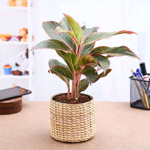 Aglaonema with Attractive Kauna Grass Basket - Nurserylive