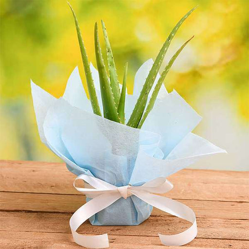 Air Purifier Aloe vera Plant with Gift Wrap - Nurserylive