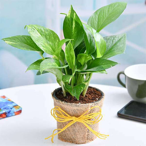 Air Purifier Money Plant with Jute Wrap - Nurserylive