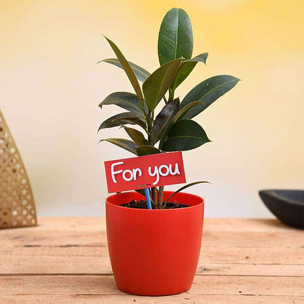 Air Purifying Rubber Plant For You - Gift Plant