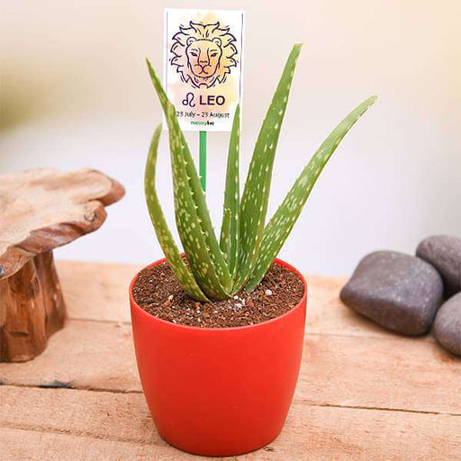 Aloe vera for Leo or Singh Rashi - Plant - Nurserylive