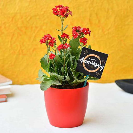 Amazing Kalanchoe for Anniversary - Nurserylive