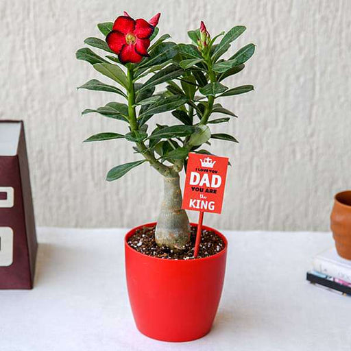 Attractive Adenium Bonsai for Amazing Father - Nurserylive