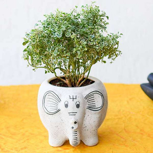 Beautiful Aralia Plant with Cute Ceramic Pot - Nurserylive