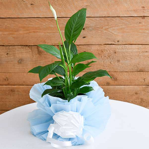 Beautiful Peace lily with a Gift Wrap - Nurserylive
