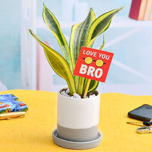 Beautiful Sansevieria for Brothers Love - Nurserylive