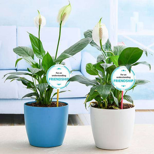 Best 2 Peace lily Plants for our Understanding Friendship - Nurserylive
