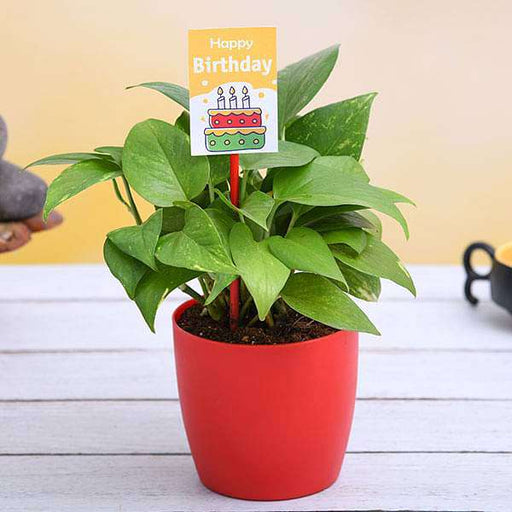 Birthday special money plant - Nurserylive
