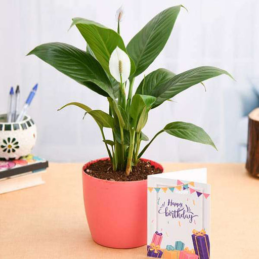 Birthday Wishes with Peace Lily Plant - Nurserylive