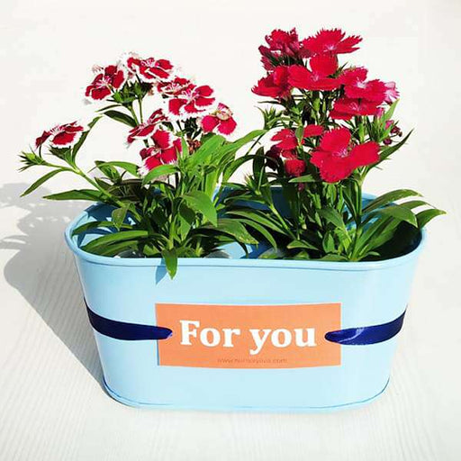 Blooming Dianthus Pair for You- Gift Plant - Nurserylive