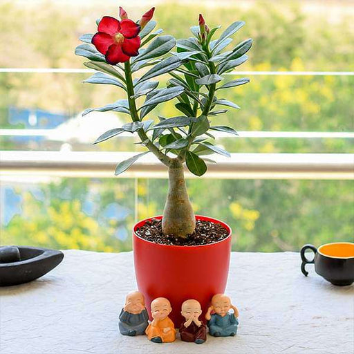 Bonsai Looking Adenium with Amazing Monks for Special Occasions - Nurserylive