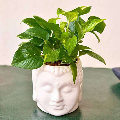 Bring Good Luck with Magnificent Money Plant and Ceramic Pot - Nurserylive