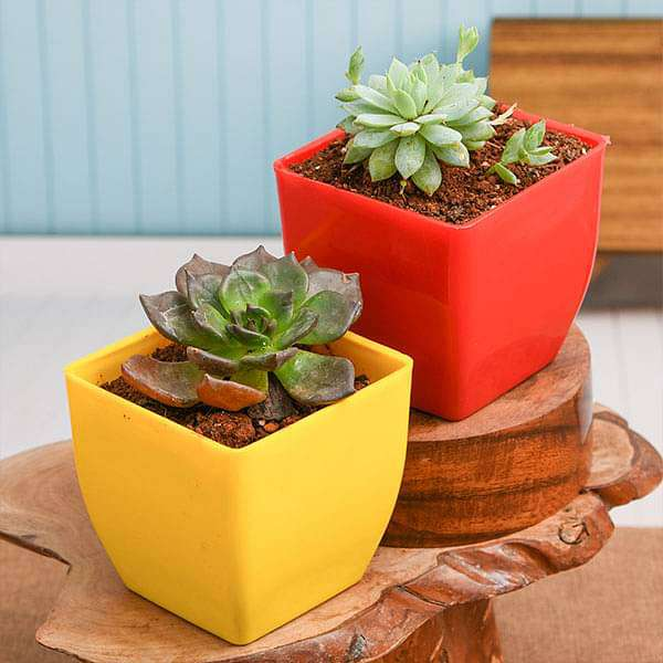 Bring Prosperity and Wealth with Vishnu and Lakshmi Kamal Succulents - Nurserylive