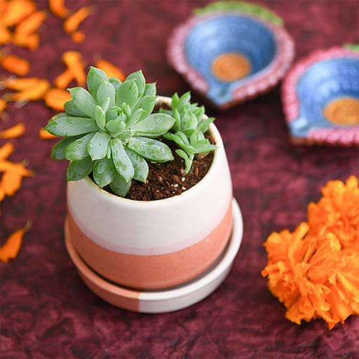 Bring Prosperity with Laxmi Kamal in Ceramic Pot - Nurserylive