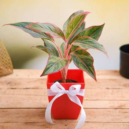 Celebrate Anniversary with Aglaonema Plant - Nurserylive