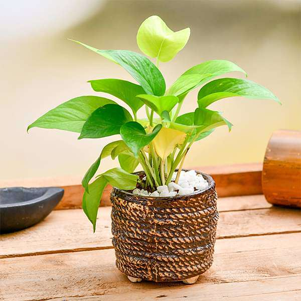 Celebrate Bond of Togetherness with Money plant
