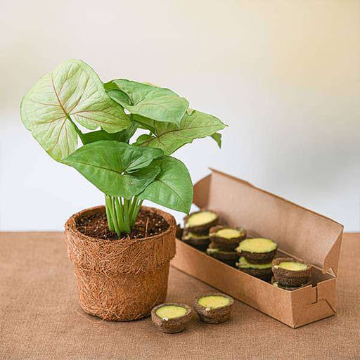Celebrate Eco Friendly Diwali with Syngonium Plant - Nurserylive