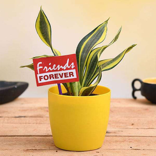 Celebrate Friendship with Sansevieria and a Flag - Nurserylive