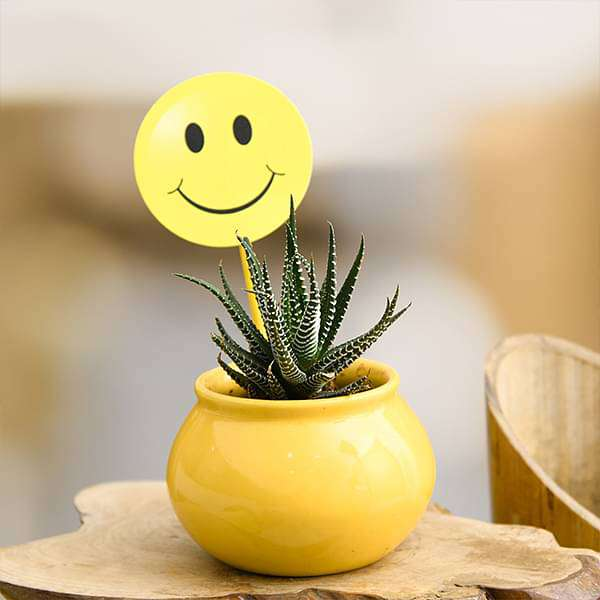 Celebrate Happiness with Haworthia in Ceramic Pot