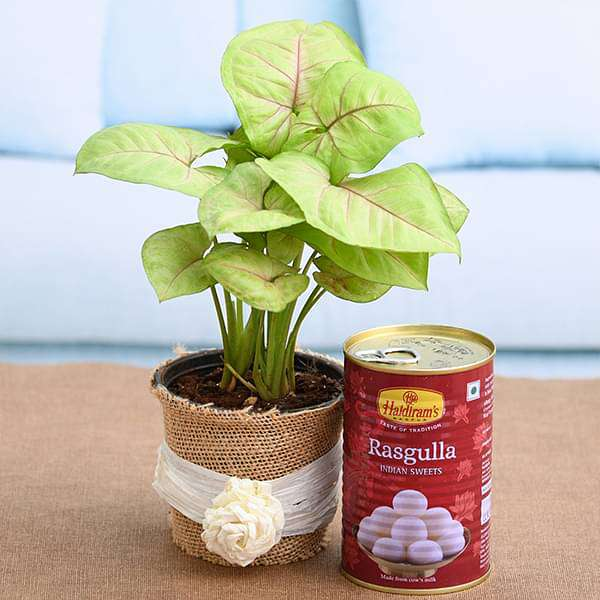 Celebrate joyful moments with Syngonium and Rasgulla - Nurserylive