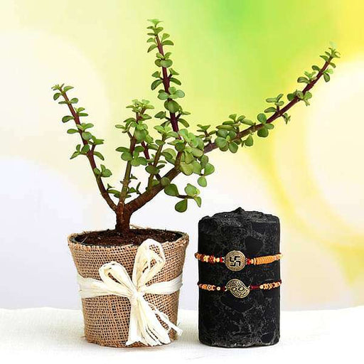 Celebrate Rakshabandhan with Set of 2 Rakhi and Jade Plant - Nurserylive
