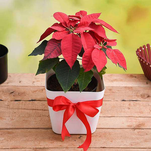 Cheerful Poinsettia, Christmas Flower in Decorative Pot - Nurserylive