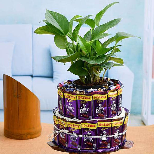 Chocolate Tower With Lovely Money Plant - Nurserylive
