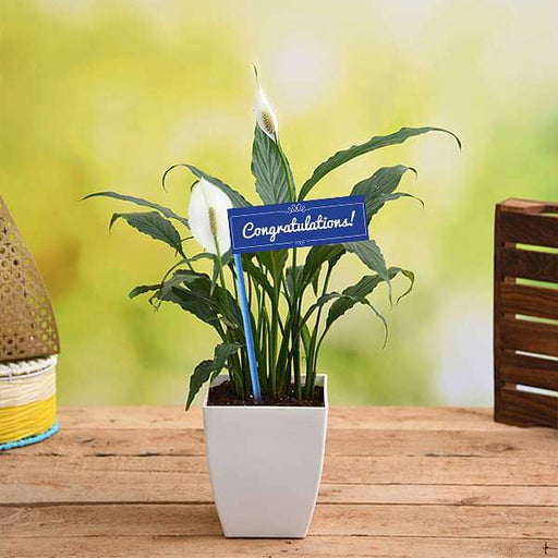 Congratulate with Peace Lily Plant - Nurserylive