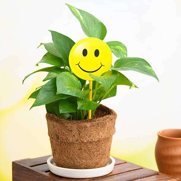 Eco friendly Green Money Plant with Smiley - Gift Plant - Nurserylive