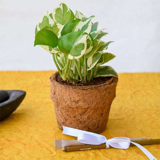 Eco Friendly Money Plant Prince with Pen and Pencil in Coir Pot - Gift Plant - Nurserylive