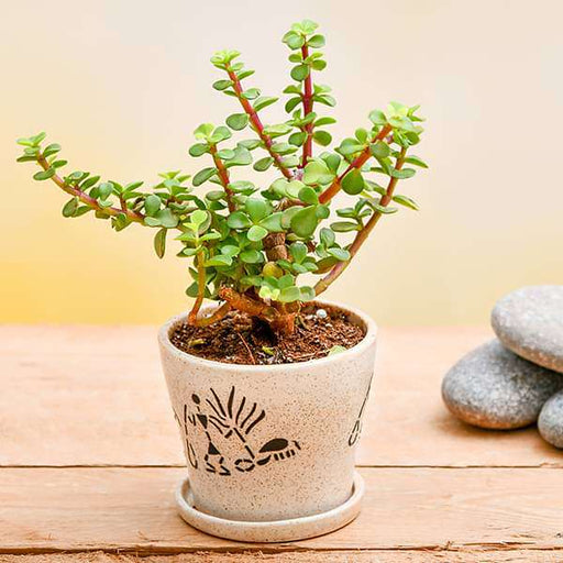 Enchanting Jade plant for Memorable Moments - Nurserylive