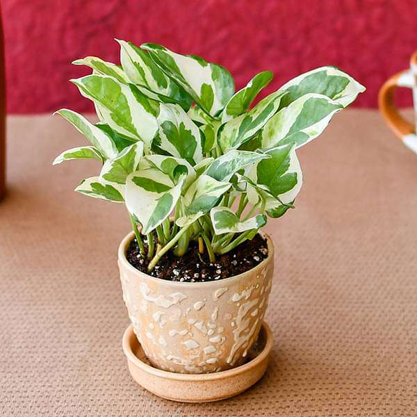 Flawless Money Plant with Ceramic Pot for Success - Nurserylive