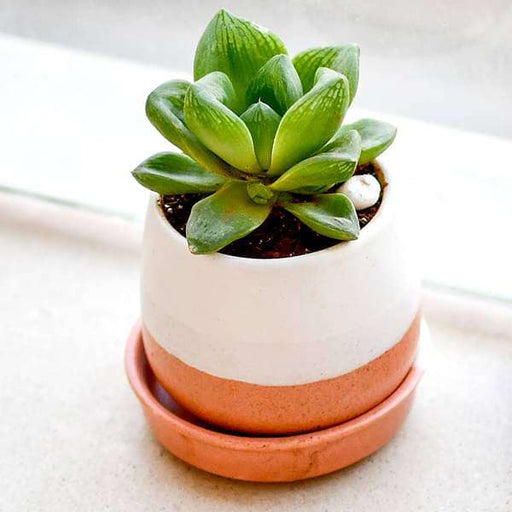 Give Happiness with Glorious Haworthia in a Ceramic Pot - Nurserylive
