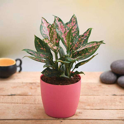 Give Love with Amazing Aglaonema Plant - Nurserylive