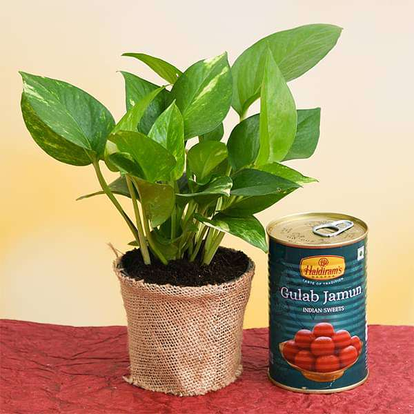 Glorious Green Money Plant with Gulab Jamun - Nurserylive