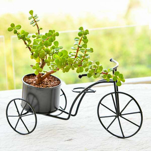 Good Luck Bicycle - Gift Plant - Nurserylive