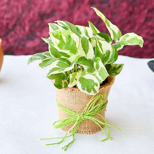 Good Luck Money Plant with a Jute wrap - Nurserylive