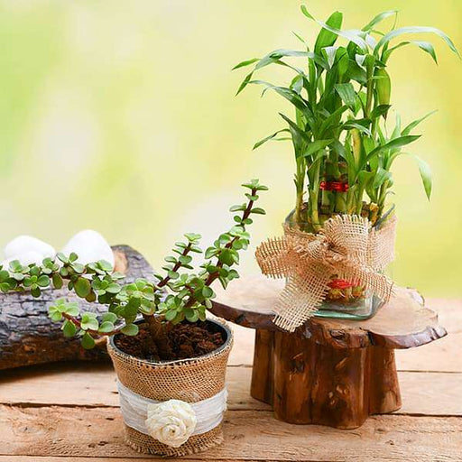 Good Luck Plant Combo - Nurserylive