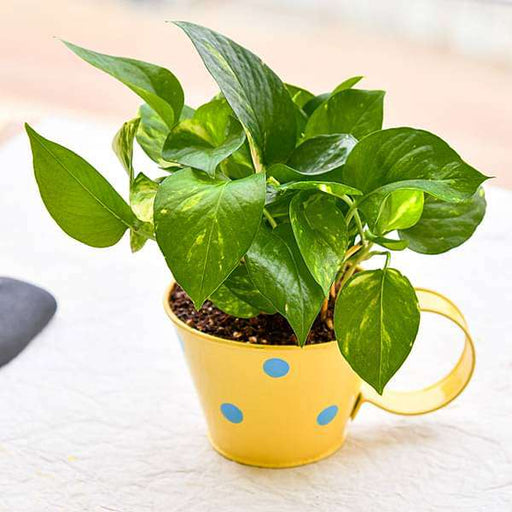 Green Money Plant for Good Luck in Polka Cup- Gift Plant - Nurserylive