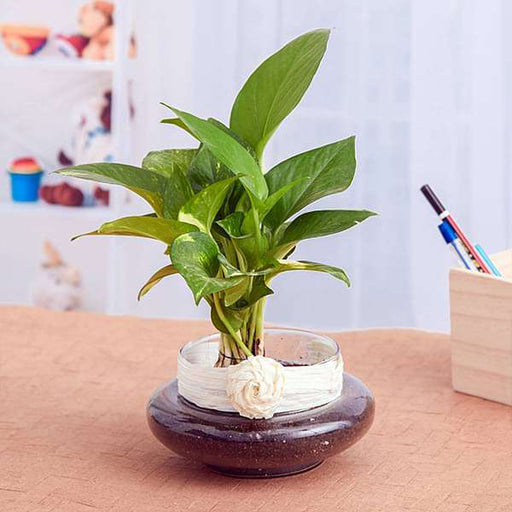 Green Money Plant in a Round Glass Vase - Nurserylive
