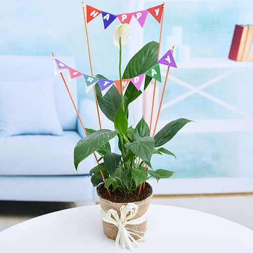 Happy Birthday wishes with Peace lily in a Jute Wrap - Nurserylive