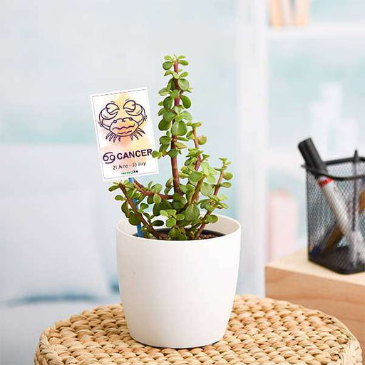 Jade Plant for Cancer or Kark Rashi - Plant - Nurserylive